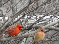 Male and Female Cardinals (Anton Shomali - Thank you for over 2 million views) Tags: female outdoor nature branches maleandfemale color red male cardinal northern macro light outside beauty beautiful black seeds january bird hungry cold season winter midwest snow birds house backyard green yellow white flacks tree food wood nikon coolpix p900