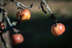 Wir haben den ganzen Winter durchgehalten 2717 (Peter Goll thx for +11.000.000 views) Tags: erlangen apfelbaum baum tree dechsendorf nature apple 2019 natur apfel bayern deutschland de winteräpfel