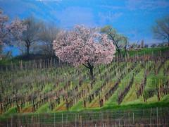 amandier (Almond tree - Mandelbaum) (pietro68bleu) Tags: alsace mittelwihr mandelberg vignoble amandiersenfleurs blossom europe france village vue view vie hautrhin verdure green tree flower pink