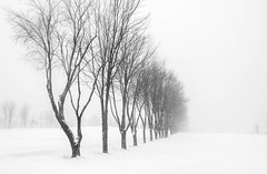 In a row (soniamarmen) Tags: winter landscape blackwhite trees row solhouettes blizzard snow