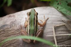 Hylarana erythraea (GeeC) Tags: tatai hylarana hylaranaerythraea ranoidea chordata animalia nature kohkongprovince cambodia ranidae amphibia anura frogstoads truefrogs