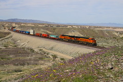 Park Moabi, California (UW1983) Tags: trains railroads bnsf seligmansub stacktrains desertrailroading flowers parkmoabi california