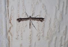 Plume moth ,Amblyptilia acanthadactyla (Geckoo76) Tags: moth insect plumemoth amblyptiliaacanthadactyla