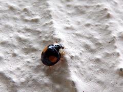 102_1481 (Cassiopée2010) Tags: cévennes nature insecte coccinelle