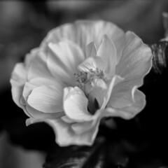 Hibiscus Flower (Mikael Neiberg) Tags: hibiscus flower monochrome blackandwhite zenzabronicas2 nikkornipponkogaku75mmf28 extensionring extensiontube ilforddelta100 120film filmisnotdead analoguephotograph scan