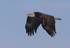 Nearly Adult bald eagle in flighjt3 (Daniel Hemingsen) Tags: bird eagle flight nature
