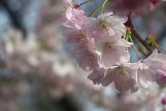 八重桜 / Cherry Blossoms     H. Roussel Kynor   1 : 3.5   F = 50 (情事針寸II) Tags: flowerscolors ngc spring printemps 春 クローズアップ 自然 花 八重桜 triplet oldlens closeup bokeh flower nature fleur cerisier placedutrône hrousselkynor135f50