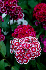 Red, pink, white (gornabanja) Tags: flower red pink plant nature garden pretty nikon d70