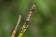 IMG_4728  尺蛾科 Geometridae (vlee1009) Tags: 2019 60d canon march nantou taiwan nature caterpillars moths