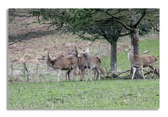 Chatsworth House, Deer's what's at the end... (johnhjic) Tags: johnhjic chatsworth house dear tree look looking up stickk lady ladies animals spring sharp eyes legs wild nature deer deers fawn fawns