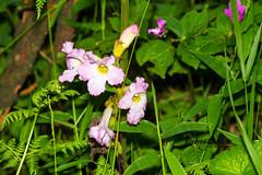 unknown Flower, Magoebaskloof, Limpopo, Dec 2018 (roelofvdb) Tags: 2019 date december limpopo magoebaskloof place plants year
