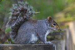 Reddish Vale Squirrel 1 (COCOAJAMESON) Tags: nature outdoors animals birds squirrel reddish reddishvale canon canon7dmkii canon7d 100400mm canon100400mm photography