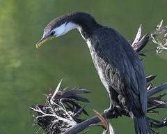 Little Pied Shag (njohn209) Tags: birds d500 nikon nz