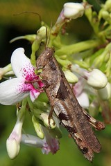 Grasshopper  -in explore- (Uhlenhorst) Tags: 2016 bali indonesia indonesien animals tiere flowers blumen blossoms blüten travel reisen macromarvels