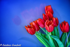 So red ... (frederic.gombert) Tags: flower flowers tulip bunch bloom blossom light color red blue sun sunlight macro nikon