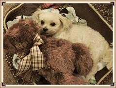 HAPPY Teddy Bear Tuesdays (marilyntunaitis) Tags: dog pet bella barrybearington stuffedanimals teddybears plush alphabet