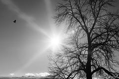 Fly away (wketsch) Tags: sun graz winter noon snow nature backlight bird fly monochrome 35mm nikon contrast forest landscape mariatrost