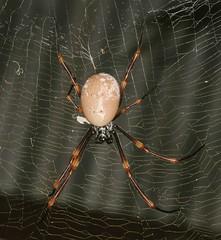 Eastern Golden Orb-weaver (Jenny Thynne) Tags: spider brisbane queensland australia nephilaplumipes nephilinae arachnida araneae goldenorbweaver female