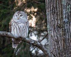 Barred Owl (John Clay173) Tags: vernon connecticut owl jclay wildlife