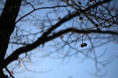 Yesteryears Fruit (gripspix) Tags: 20190206 iscogöttingen stellagon 28100mm projectionlens projektionsobjektiv test trees detail bäume beech buche buchecker beechnut yesteryear letztjährig twigs zweige branches äste sky himmel blue blau