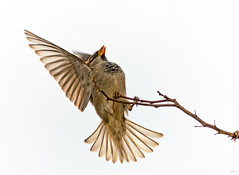 "Ready for take off (kunstschieter) Tags: ""smileonsaturday""""shadesofbrown"" bird housesparrow haussperling huismus"