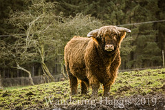 Hamish (wanderinghaggis) Tags: belted galloway highland cow farm animal sony a6000 outdoor outside outdoors out breed cattle image photography scotland day field farming life landscape exposure exposed nature natural