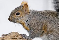 _A990102 (mbisgrove) Tags: a99m2 squirrel a99ii sal70400g2 sony