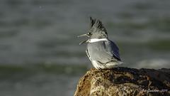 Belted Kingfisher (m) (Bob Gunderson) Tags: beltedkingfisher birds california megacerylealcyon northerncalifornia pigeonsdovesparrots presidio sanfrancisco waveorgan