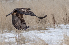 Goldie Taking Off (edhendricks27) Tags: goldeneagle eagle bird nature wildlife animal canon