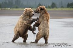 _HB32758 (Hilary Bralove) Tags: lakeclarkbearswildlifealaska alaksa brownbears grizzlybears bear bears grizzly brownbeargrizzly bearlake clarkwildlifealaska wildlifenikonlake clark national park