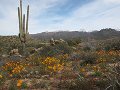 Desert Bloom 2019 (zoniedude1) Tags: arizona desert springinthedesert wildflowers desertbloom2019 saguarocactus snowymountains earlyspringdesertscape springbeauties poppiespopping sonorandesert greendesert thespringbloom blooming flowers native goldpoppies mexicangoldpoppy eschscholziacalifornicasspmexicana yellow flowering orange beauty mazatzalmountains desertscape brilliant colorful desertinbloom maricopacounty tontonationalforest bartlettlakerecreationarea desertspring2019 2240ftelevation inthewild outdoors hiking exploration discovery closeup detail macro southwest nature canonpowershotg12 pspx19 zoniedude1 earthnaturelife