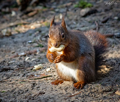 🇬🇧 Red squirrel eating (vickyouten) Tags: redsquirrel redsquirreleating nature naturephotography wildlife britishwildlife wildlifephotography nikon nikond7200 nikonphotography nikkor55300mm formbybeach formby liverpool uk vickyouten