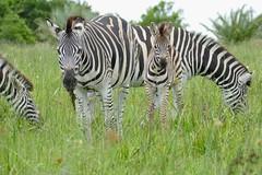 Burchell's Zebras (Equus quagga burchellii) (berniedup) Tags: burchellszebra equusquaggaburchellii isimangaliso zebra taxonomy:trinomial=equusquaggaburchellii equusquagga taxonomy:binomial=equusquagga