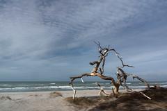 Baumreste am Strand (tleesch) Tags: dars deutschland mecklenburgvorpommern meer orte ostsee weststrand bornadars de