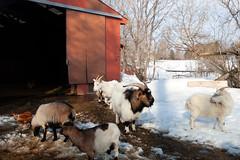 goats (massdistraction) Tags: goats goatfarm stpatricksday party saunaparty march snow winter outside friends fun goat farm farmparty sauna rural country