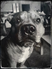 Tintype testing (aixcracker) Tags: staffordshire bullterrier staffy staffi staffie dog hund koira suomi finland borgå porvoo