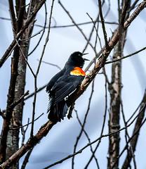 He's BAAAAACK... (!) (Portraying Life, LLC) Tags: cropapsc da3004 k1mkii michigan pentax ricoh topazaiclear unitedstates bird closecrop handheld nativelighting pond earlyspring