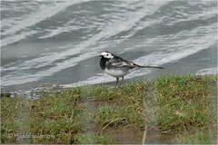 Pied Wagtail (Huddsbirder) Tags: huddsbirder fe70300mm sony a6500 piedwagtail adwickwashlands rspb