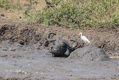 8b-africanbuffaloinmud-1461 (h.redpoll) Tags: africanbuffalo cattleegret queenelizabethnationalpark uganda