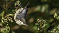 Pygmy Nuthatch (Bob Gunderson) Tags: birds california concretebridge lakemerced northerncalifornia nuthatches pygmynuthatch sanfrancisco sittapygmaea