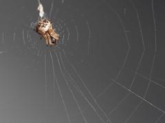 Cyclosa sachikoae (rainerbreitling) Tags: araneae araneidae cyclosa cyclosasachikoae spider japan okinawa 沖縄諸島 spinne spin araignée araña örümcek αράχνη クモ ryukyuislands nanseiislands