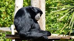 Pairi Daiza (45) (Johnny Cooman) Tags: brugelettecambroncasteau wallonie belgië bel animal dieren natuur ベルギー aaa panasonicdmcfz200 henegouwen hainaut belgium bélgica belgique belgien belgia zoo