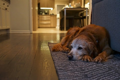 The old girl's usual spot (ike_582) Tags: 15 years golden retriever old oldgoldens