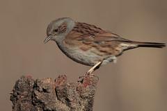 Passera scopaiola (Marcello Giardinazzo) Tags: passerascopaiola prunellamodularis avifauna birds bird natura uccelli