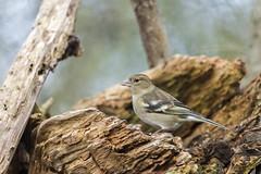 Sur du bois - On wood (bboozoo) Tags: oiseau bird nature animal wildlife chaffinch pinsondesarbres bois wood arbre tree canon6dii tamron150600