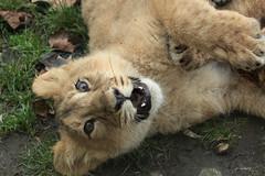 Young Asiatic Lion (K.Verhulst) Tags: lions lion leeuwen leeuw asiaticlions aziatischeleeuwen cats blijdorp blijdorpzoo diergaardeblijdorp