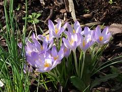 DSC00041 Crocus (PeaTJay) Tags: sonydschx90 zeiss england uk gb royalberkshire reading lowerearley berkshire macro micro closeups gardens outdoors nature flora fauna plants flowers crocus