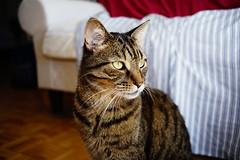 DSC03371 (iocatco) Tags: cat kitten cats sony a7