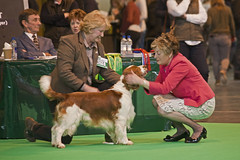 Diary_2016_036 (evinrisca) Tags: crufts welsh springer spaniel dogshow wsscsw