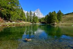 Duck in the Lac Bleu, and the Matterhorn (supersky77) Tags: valtournanche matterhorn cervino alps alpi alpes alpen aosta vallèedaoste valledaosta duck mallard germano germanoreale